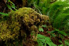 Free Moss Covered Tree Royalty Free Stock Photo - 14661295