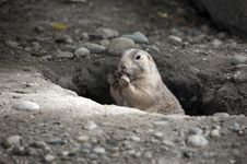 Free Prairie Dog Holding Food In Hole Stock Image - 14661451