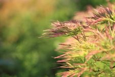 Free Acer Japonicum Royalty Free Stock Photography - 14661767