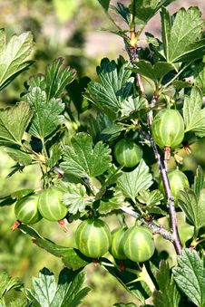 Free Gooseberry Growing On Bush Stock Image - 14662321
