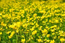 Free Meadow With Buttercup Stock Photos - 14662383