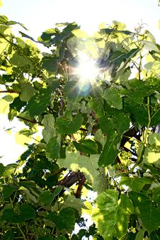 Sun Lighting Through The Leaves Of Vine Royalty Free Stock Photos