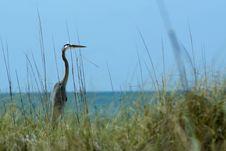 Free Great Blue Heron At Ocean Stock Image - 14662701