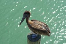 Free Pelican Standing On Piling Stock Photos - 14662723