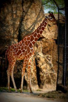 Free Giraffe Royalty Free Stock Photos - 14662998