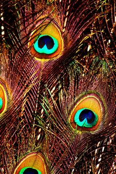 Free Peacock Feathers Stock Images - 14663024