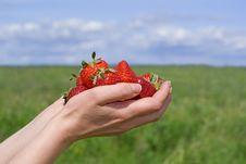 Free Handfull Of Strawberry Royalty Free Stock Photo - 14663725