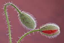 Free Two Blossoming Poppy Buds. Stock Images - 14664784