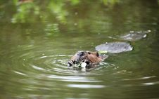 Beaver Floating In Water And Eating A Leaf Royalty Free Stock Image