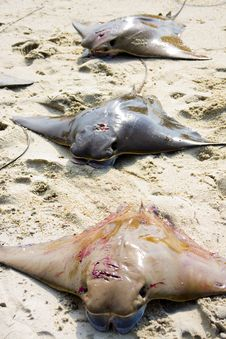 Free Three Dead Stingray Royalty Free Stock Images - 14665279