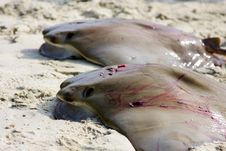 Free Pair Of Dead Stingray Stock Image - 14665311