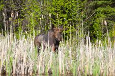 Free Moose Stock Images - 14665544
