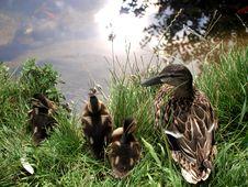 Free Mallard Ducks Stock Image - 14666121