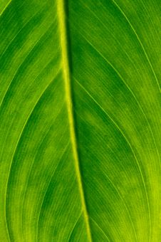 Free Green Leaf Royalty Free Stock Photography - 14666127