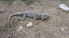 Free Lizard Stock Image - 14666581