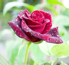 Free Red Rose With Dewdrops Royalty Free Stock Image - 14667176