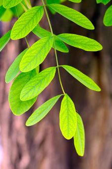 Free Leaves Of Silver Chain Stock Photo - 14667260