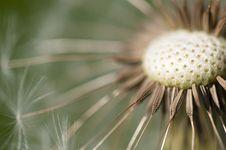 Common Dandelion - Taraxacum Stock Images