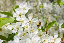 Free Bee On The Flowers Of Cherry Stock Photography - 14667772