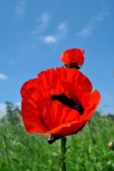 Free Poppy Stock Images - 14668904