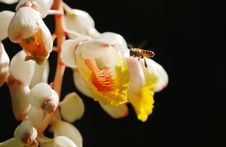 Free Shell Giner Flower And  Flying Bee Royalty Free Stock Photography - 14669457