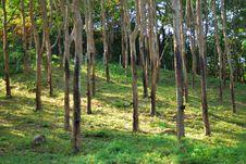 Rubber Tree 2 Stock Image