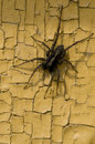 Free Spider On An Old Yellow Wall Royalty Free Stock Photos - 14673408