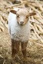 Free Lamb Royalty Free Stock Photo - 14677255