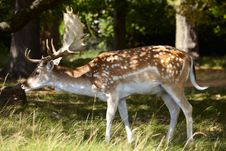 Dappled Deer In A Forest Royalty Free Stock Image