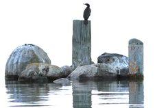 Free Cormorant Stock Photo - 14671660