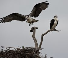 Free Osprey Stock Photography - 14671852