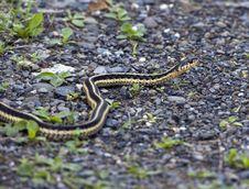 Common Garter Snake Royalty Free Stock Photo