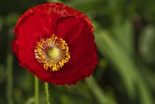 Free Red Poppy Royalty Free Stock Photos - 14672008