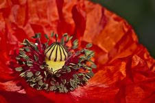 Free Red Poppy Royalty Free Stock Photography - 14672027