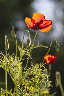 Free Red Poppy Royalty Free Stock Photo - 14672045