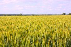 Free A Wheat Royalty Free Stock Photo - 14672285