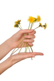 Free Yellow Dandelions Royalty Free Stock Photography - 14672397