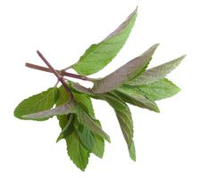Free Herb  Mint Royalty Free Stock Image - 14672596