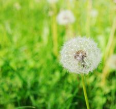 Free Dandelion Flower Stock Photos - 14673073
