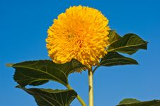 Free Sunflower On Blue Sky Background Stock Image - 14673171
