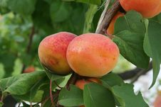 Free Apricots On Branch Royalty Free Stock Photos - 14673508