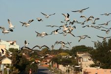 Free Western Sea Gull Flock Flying Royalty Free Stock Photo - 14673805