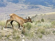 Free Blurred Yellowstone Fauna In Motion Royalty Free Stock Images - 14674399