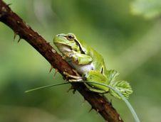 Free Green Tree Frog Royalty Free Stock Photo - 14674615