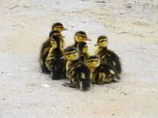 Free Ducklings Stock Photos - 14674733