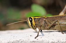 Free Common Locust Royalty Free Stock Image - 14674936