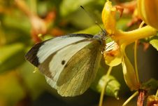Free Feeding Butterfly Royalty Free Stock Photos - 14675158