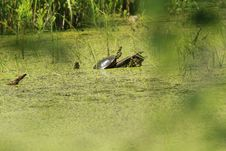Free Swamp And Turtle Stock Photos - 14675493