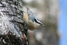 Free Male Red-breasted Nuthatch Royalty Free Stock Photography - 14676287
