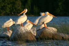 Pelicans On Rocks In The Reeds Royalty Free Stock Images